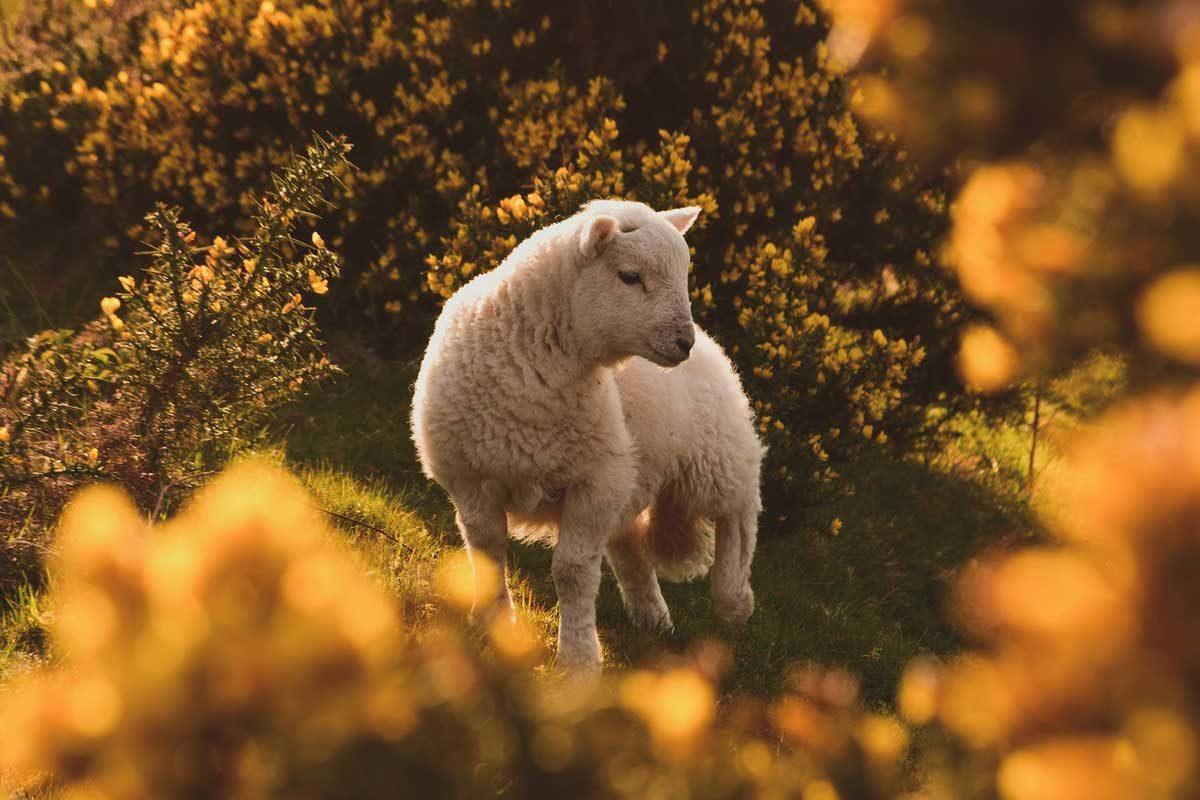 lamb-amongst-broom