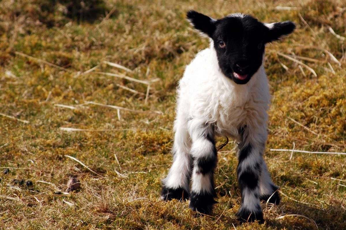 Cutie-lamb