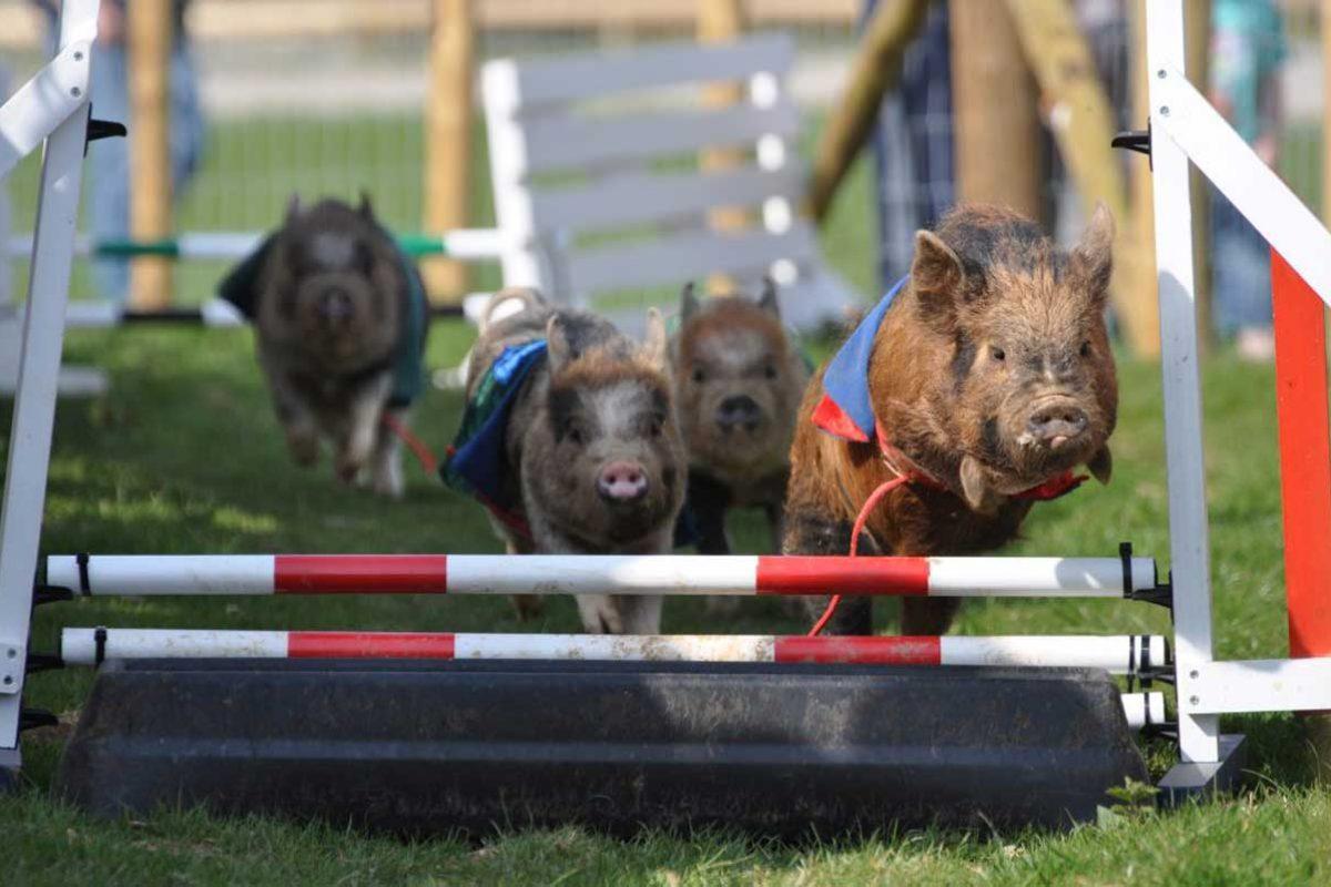 Racing-piglets